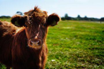 zeolithos-petrwtwn-cow