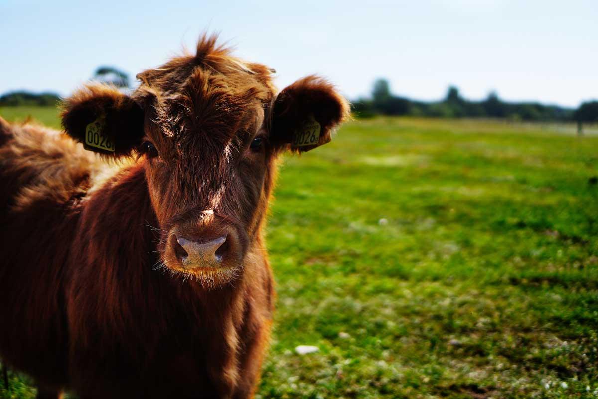 Ζεόλιθος στην κτηνοτροφία