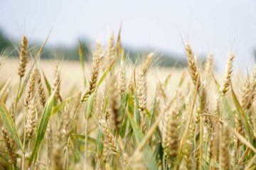 zeolithos-petrwtwn-wheat