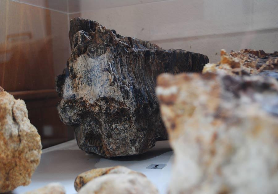 Μάυρο πεύκο απολιθωμένο